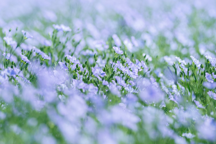 Blühender Lein