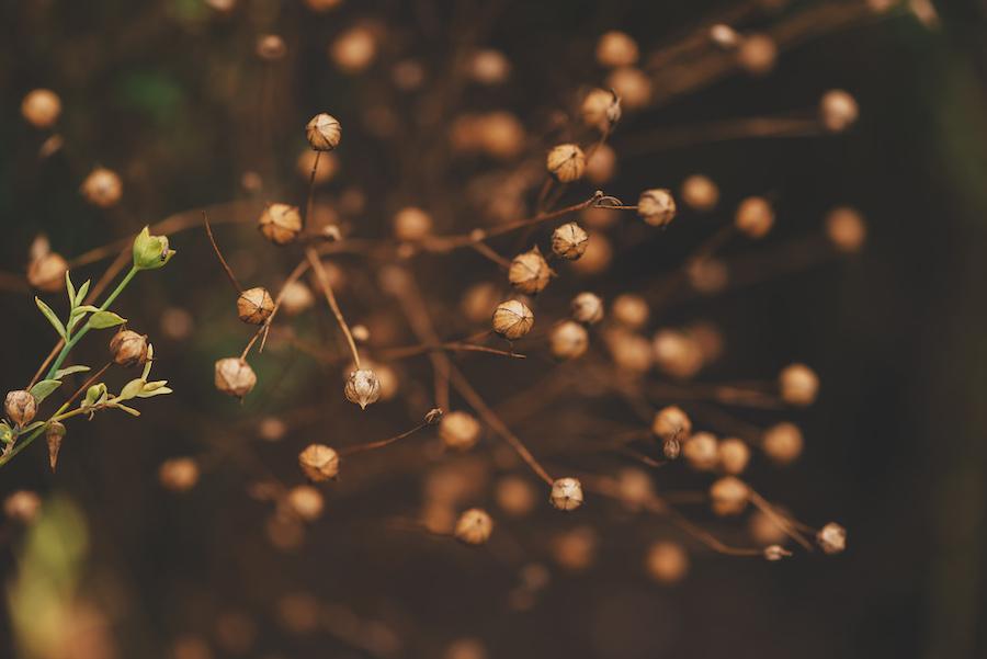Leinpflanze als Quelle qualitativen Leinöls