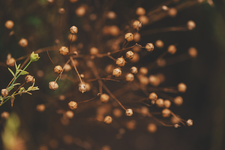 Leinöl wird aus den Samen der Leinpflanze gewonnen.